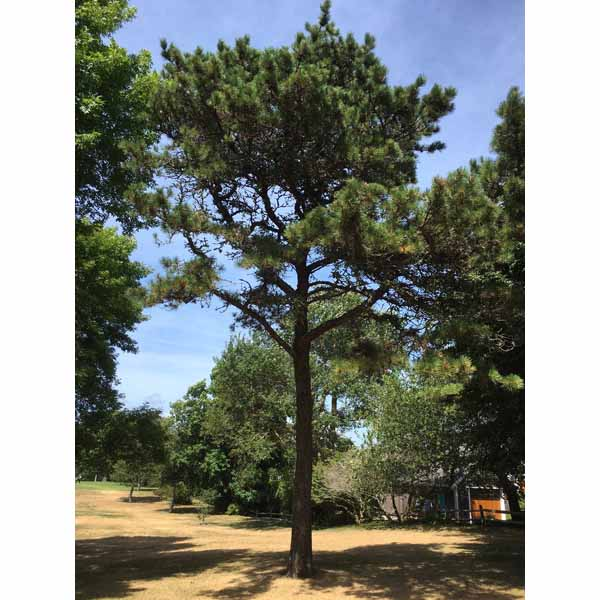 Notable Trees And Tree Tours, Chatham, Cape Cod, MA 02633